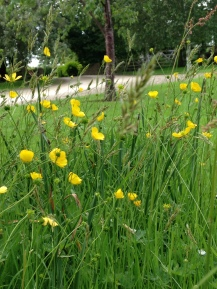 Hewletts Mill garden June 2014 573 Buttercups and grasses by drive
