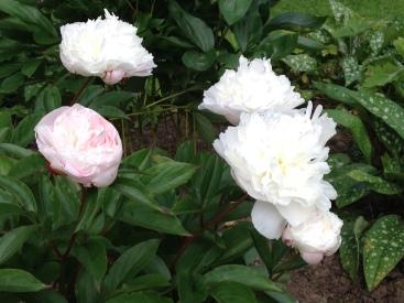 White peonies 1