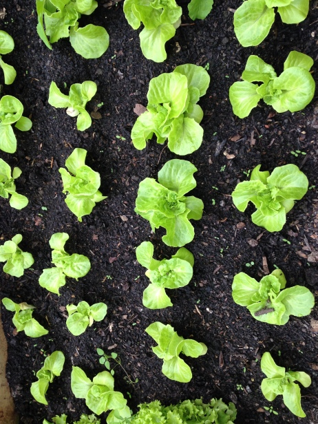 Young lettuces